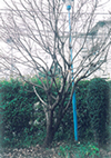 ナンジャモンジャの木